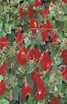 MIMULUS BONFIRE RED