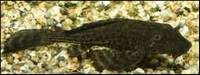 HYPOSTOMUS PLECOSTOMUS GOUDSTREEP