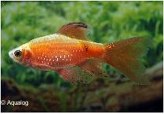 PUNITUS CONCHONIUS / LONGVIN SUPER RED -  BARBEEL