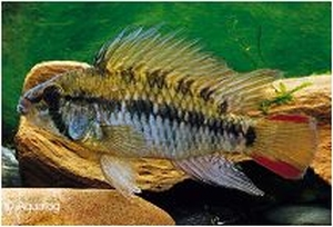 APISTOGRAMMA MACMASTERI RED NECK