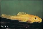 ANCISTRUS SP. GOLD L-144