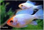 MIKROGEOPHAGUS RAMIREZI ELECTIC BLEU RED HEAD