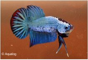 BETTA DRAGON XL - KEMPVIS  DIV KLEUREN