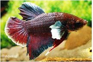 BETTA  BIG EAR - KEMPVIS