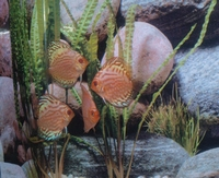DISCUS PIGEON BLOOD SILBER 10CM