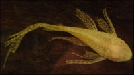 ANCISTRUS LONGFIN WHITE/GOLD