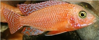 AULONOCARA SP FIRE FISH  RED