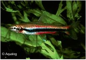 NANNOSTOMUS BECKFORDI RED