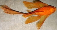 ANCISTRUS SP. SUPER RED LONG VIN