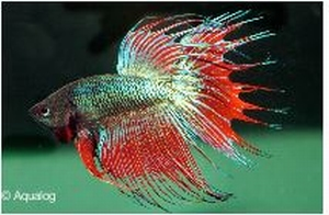 BETTA CROWNTAIL SHOWGRADE