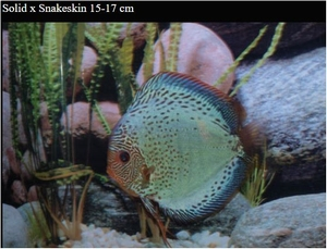 DISCUS SOLID X SNAKE SKIN 12cm