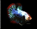 BETTA PLAKAT FANCY  XL - KEMPVIS  DIV KLEUREN