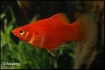 XIPHOPHORUS MACULATUS RED CORAL - PLATY RED CORAL