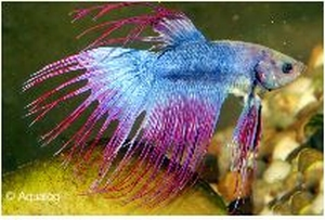 BETTA CROWNTAIL SHOWGRADE - KEMPVIS  DIV KLEUREN