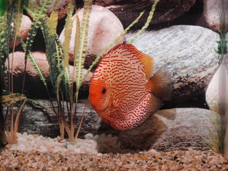 DISCUS PIGEON SNAKE 8CM