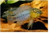 APISTOGRAMMA BORELLI OPAL / YELLOW HEAD