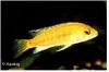 LABIDOCHROMIS  CAERULEUS YELLOW / GOLD