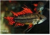 APISTOGRAMMA CACATOIDES DOUBLE RED / SUPER RED