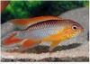 APISTOGRAMMA AGASSIZII  FIRE RED/ DOUBLE RED