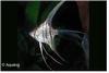 PTEROPHYLLUM SCALARE CALIFORNICA  LONGVIN - MAANVIS