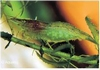 BABAULTI GREEN GARNAAL CARIDINA CF BABAULTY