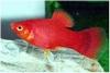 PLATY CORAL RED XIPHORUS MACULATUS