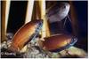 COLISA CHUNA - HONING GOERAMIE ROOD