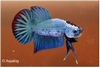 BETTA PLAKAT DRAGON XL - KEMPVIS  DIV KLEUREN