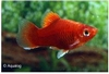 XIPHOPHORUS MACULATUS - PLATY CORAL RED