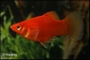 XIPHOPHORUS MACULATUS CORAL RED - PLATY RED CORAL