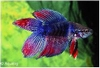 BETTA DOUBLE TAIL - KEMPVIS
